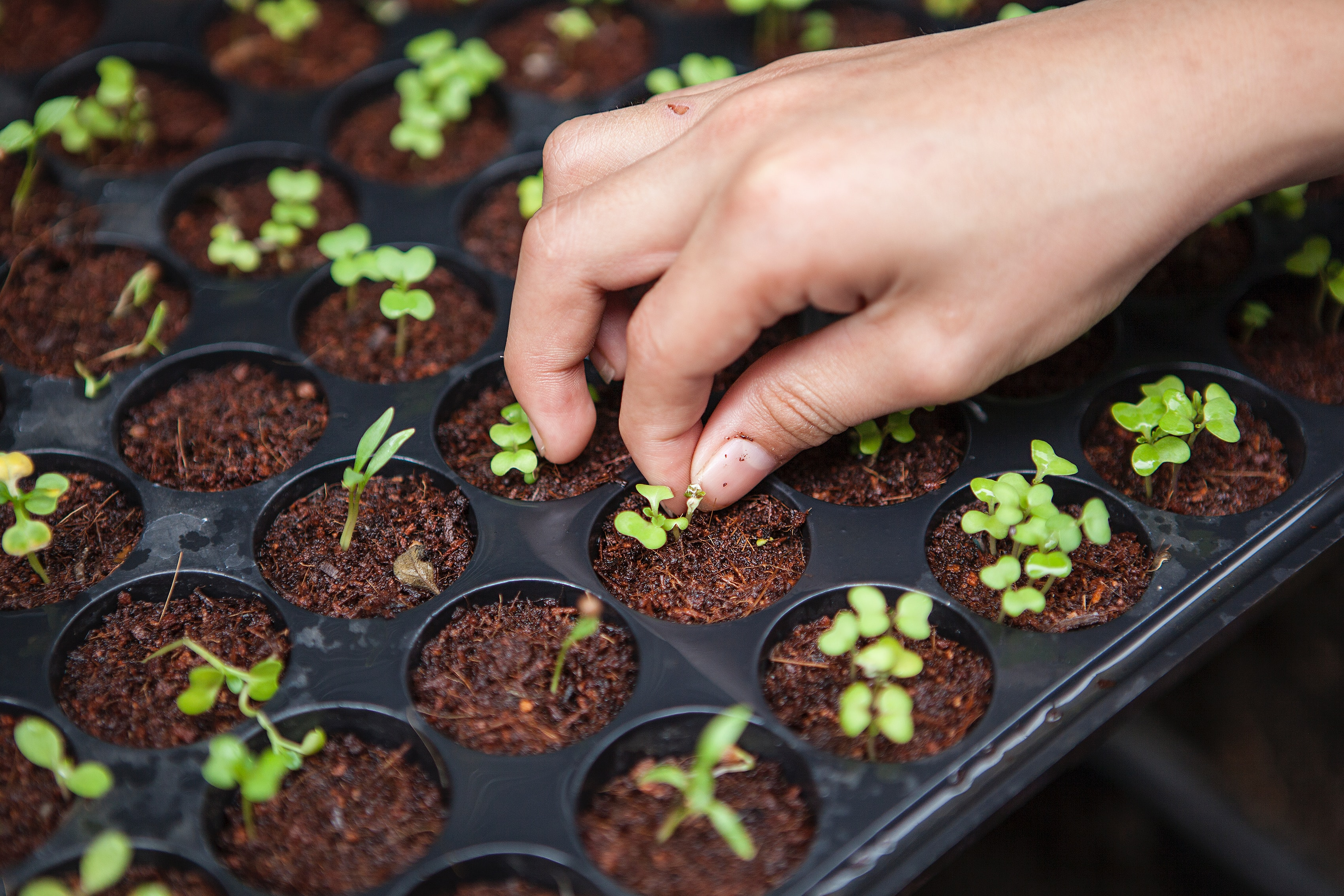 a single hand planting tiny seedlings in a small, circle containers.