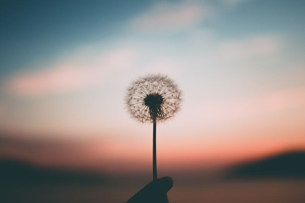 dandelion with a blurred sunset in the background